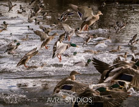 Ducks at Ann Morrison Park